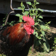 Rooster — Stock Photo #1202934
