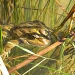 Frog — Stock Photo #1203103