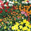 Flowerbed of tulips — Stock Photo