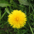 Dandelion — Stock Photo #1203161