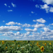 The field of sunflower - Stock Photo