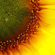 Petals of sunflower — Stock Photo