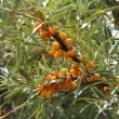 sea-buckthorn — Stock Photo