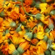 Calendula — Stock Photo #1204296