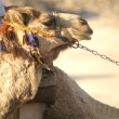 Camel — Stock Photo #1207364