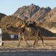 Camel — Stock Photo #1207400