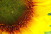 Petals of sunflower — Stock Photo