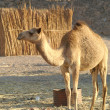 Stock Photo: Camel 23