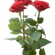 Three roses - Stock Photo