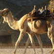 Camel — Stock Photo #2191070