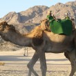 Stock Photo: Camel 13