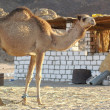 Camel — Stock Photo #2214488
