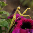 Mantis - Stock Photo
