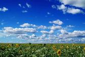 Pole słonecznika — Zdjęcie stockowe