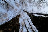 Tops of trees — Stock Photo