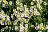 Daisy 8 — Stock Photo