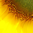 Stock Photo: Sunflower 5