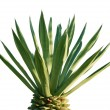 Palm tree — Stockfoto #1333171
