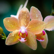 Orchid — Stock Photo #1336933
