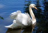 Beautiful swan on black background — Stock Photo