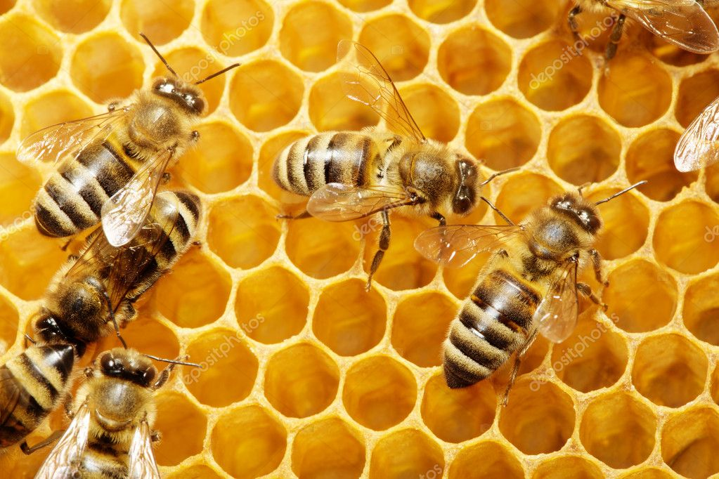 Macro of working bee on honeycells. — Stock Photo #1333419