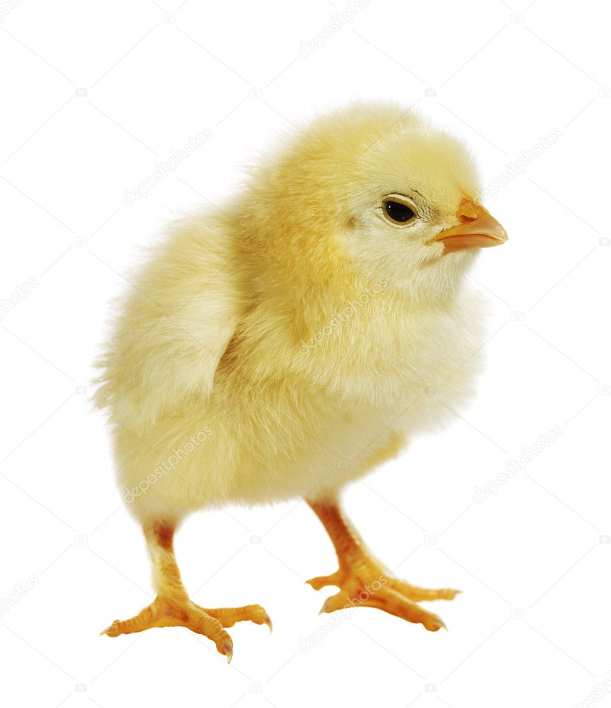 stock photo link chicken standing white background