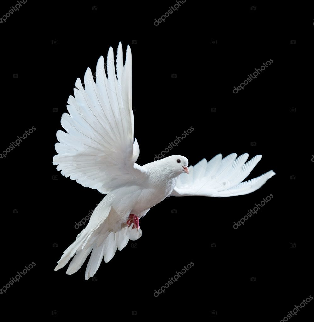 A free flying white dove isolated on a black background — Stock Photo #1333872
