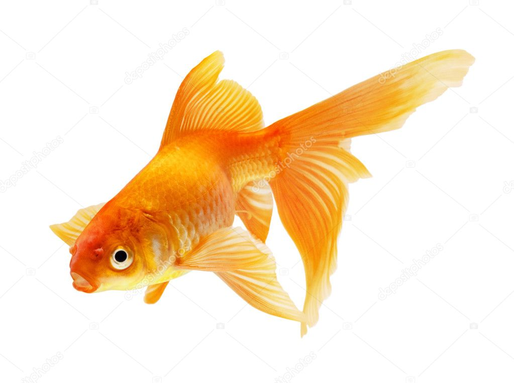 Gold fish isolated on white — Stock Photo #1337211