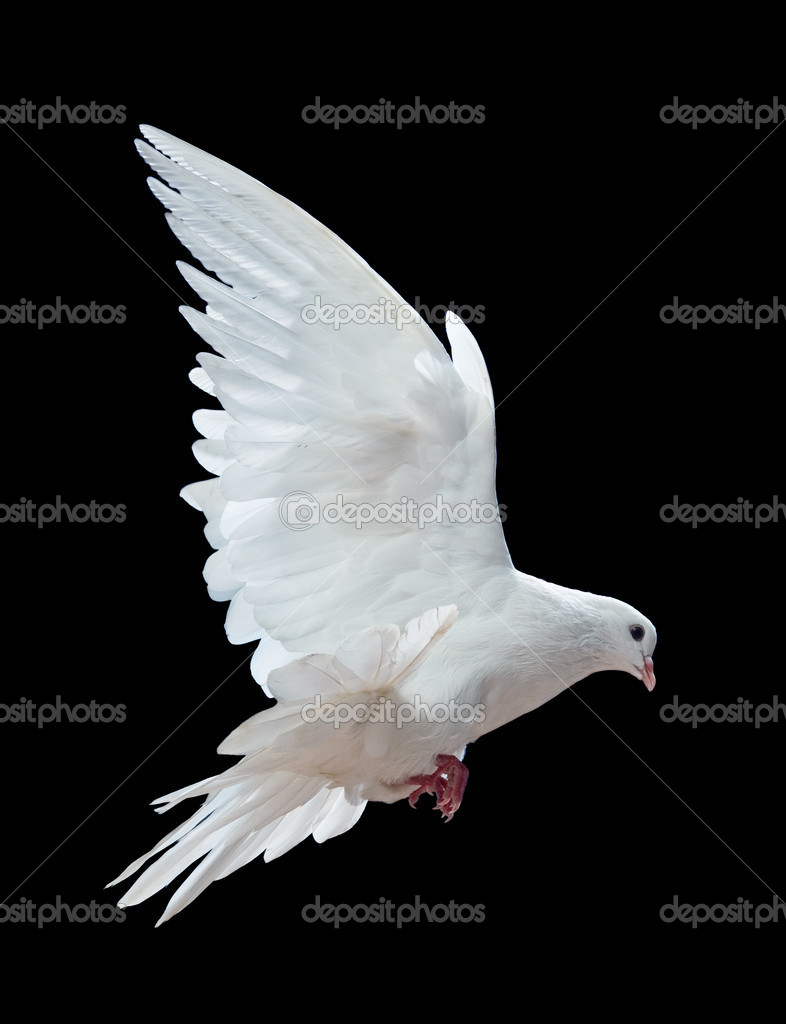 A free flying white dove isolated on a black background — Photo #1337272