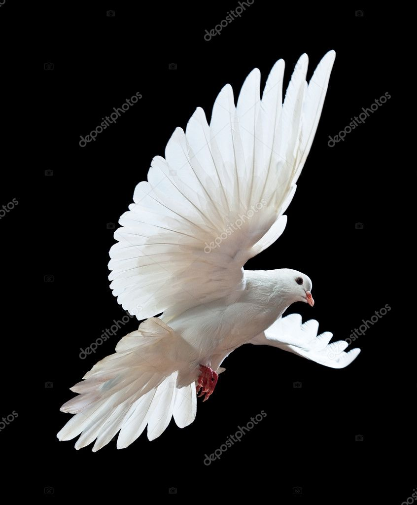 A free flying white dove isolated on a black background  Stock Photo #1337276