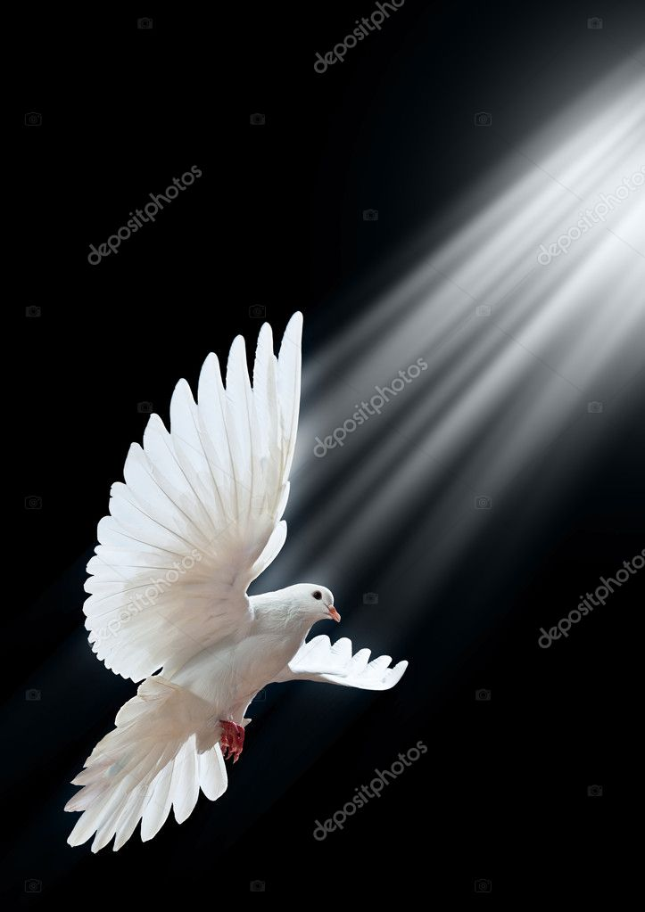 A free flying white dove isolated on a black background — Stock Photo #1337504