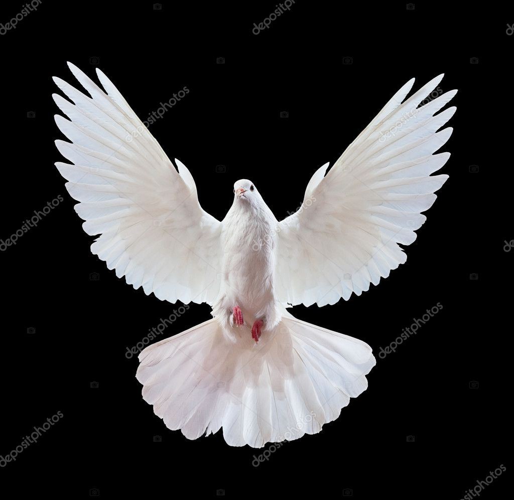 A free flying white dove isolated on a black background  Photo #1337508