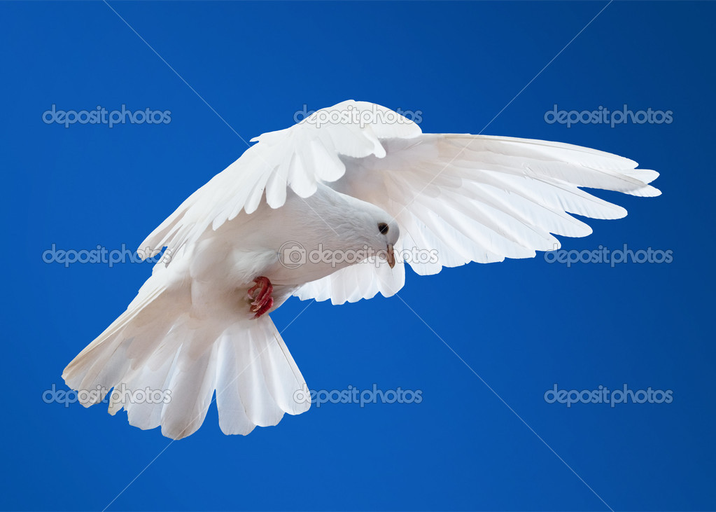 Dove in the air with wings wide open in-front of the sun — Stock Photo #1337512