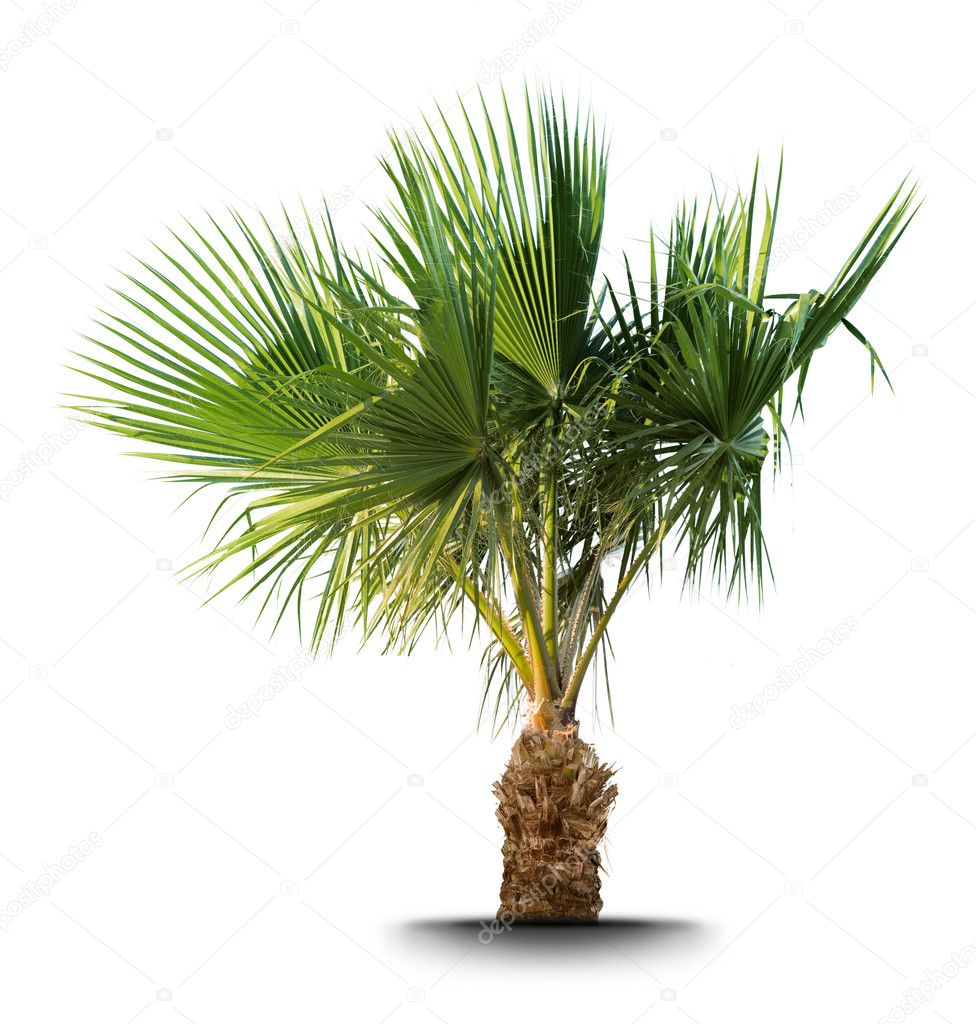 Palm tree isolated on white background — Stock Photo #1337537