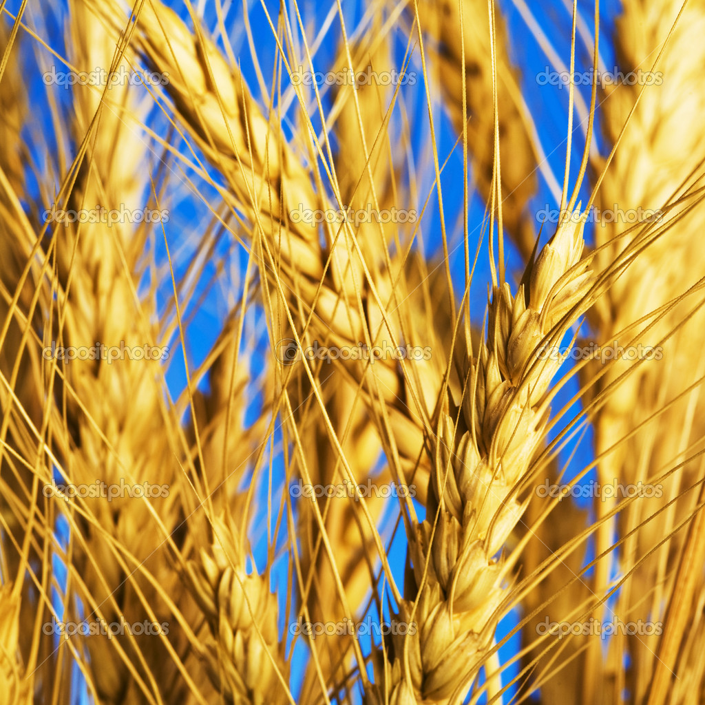 Close up view of the golden grain ears — Stock Photo #1337831