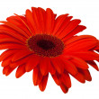 Close up view of red daisy — Stock Photo