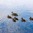 Stock Photo: Ducks Peterhof