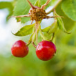 Barberry — Stock Photo #1209983