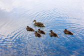 Ducks Peterhof — Stock Photo