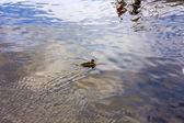 One Ducks — Stock Photo