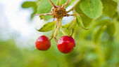 Barberry — Stock Photo