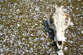 Cow Skull — Stock Photo