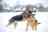 Fighting dogs — Stock Photo