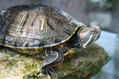Picture of tortoise on a stone, in a pool — Stock Photo