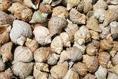 Marine shells — Stock Photo