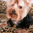 Yorkshire terrier - Photo