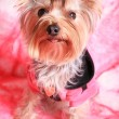 Yorkshire terrier — Stock Photo #1433052