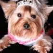 Yorkshire terrier — Stock Photo #1433092