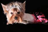 Yorkshire terrier — Stockfoto