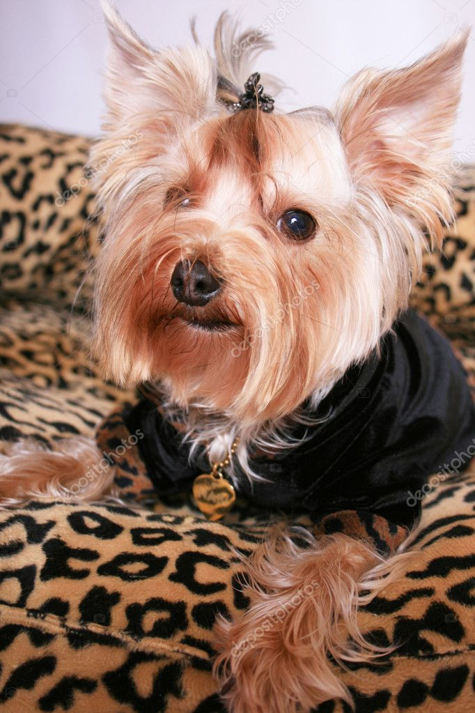 Dressed yorkshire terrier isolated on white — Stock Photo #1433050